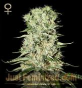 Strain Hunters Damnesia feminized skunk seeds for sale online